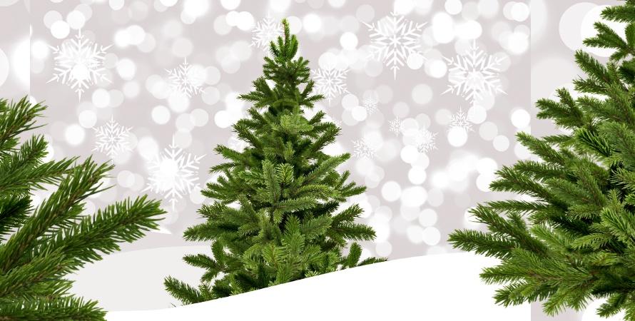 KONKURS: Wygraj choinkę na święta! Mamy do rozdania 10 drzewek