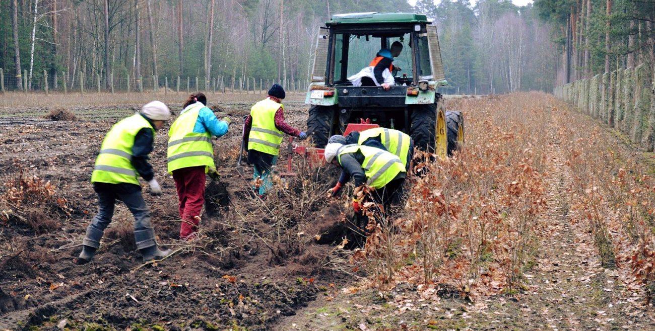 Leśnicy sadzą nowe lasy