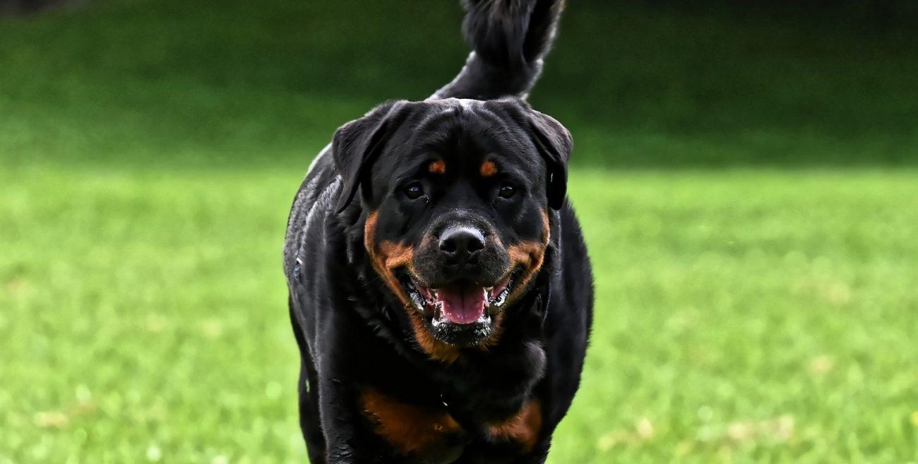 Rottweiler rzucił się na przechodnia na ulicy