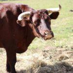 Byki uciekły z gospodarstwa. Mogą być agresywne